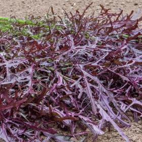 salat sennep - Brassica junecea moutarde rouge metis